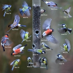 PAY-Variation-of-some-of-the-birds-that-visited-the-bird-feeder-at-Stover-Park-in-Devon-in-one-hour